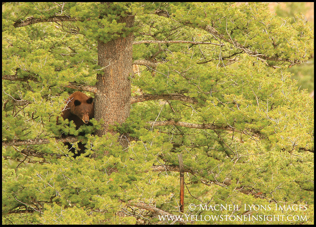 Cinnamon black bear sow in a tree, Yellowstone National Park Backcountry, Spring 2016