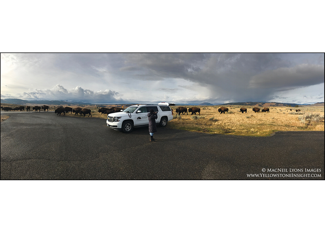 Breakfast with the bison. On tour with Yellowstone Insight, Autumn 2016