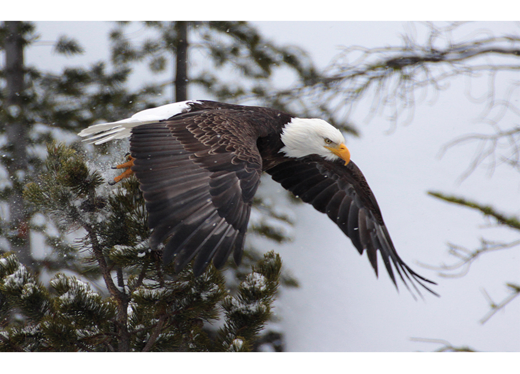 Bald Eagle takes flight over the Gibbon River, Yellowstone National Park, Winter Season