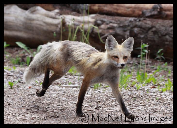 Fox-Running-2_8978