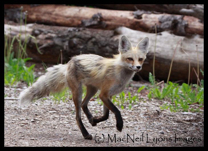 Fox-Running-3_8979