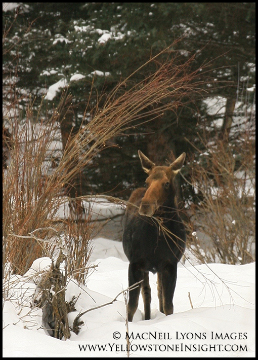 Moose in the willow, Geode Creek, Yellowstone. February 2016.