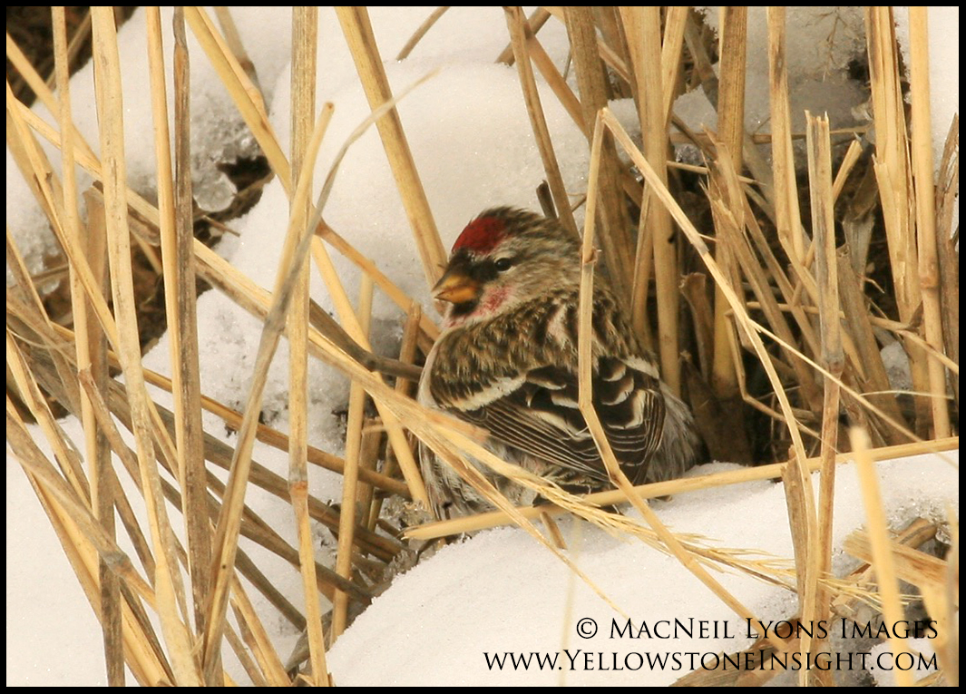 Redpoll, Lamar Valley, Yellowstone. February 2016.