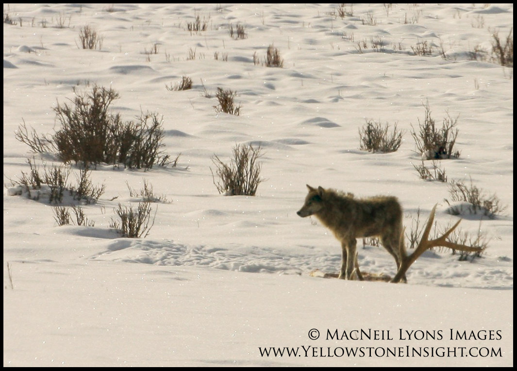Wolf pup with elk antlers, Lamar Valley, Yellowstone. February 2016.
