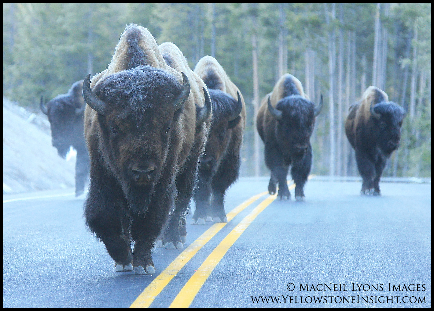 bison-walking-road_5668