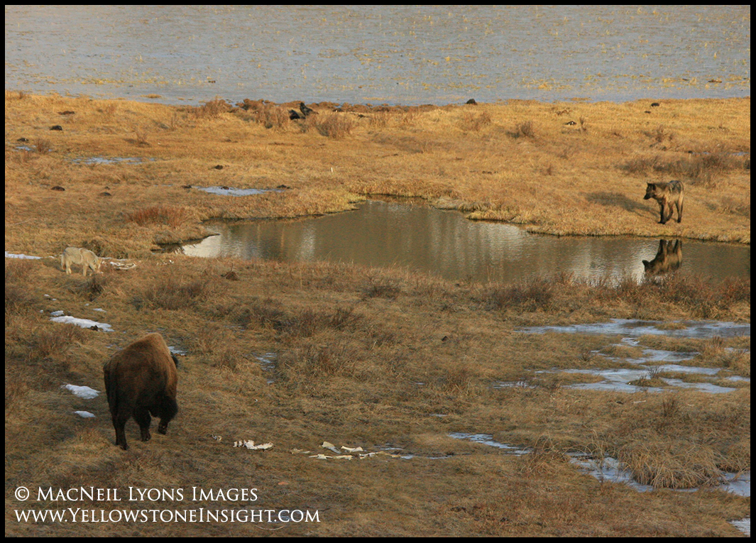 blacktail-wolfbison1_5257