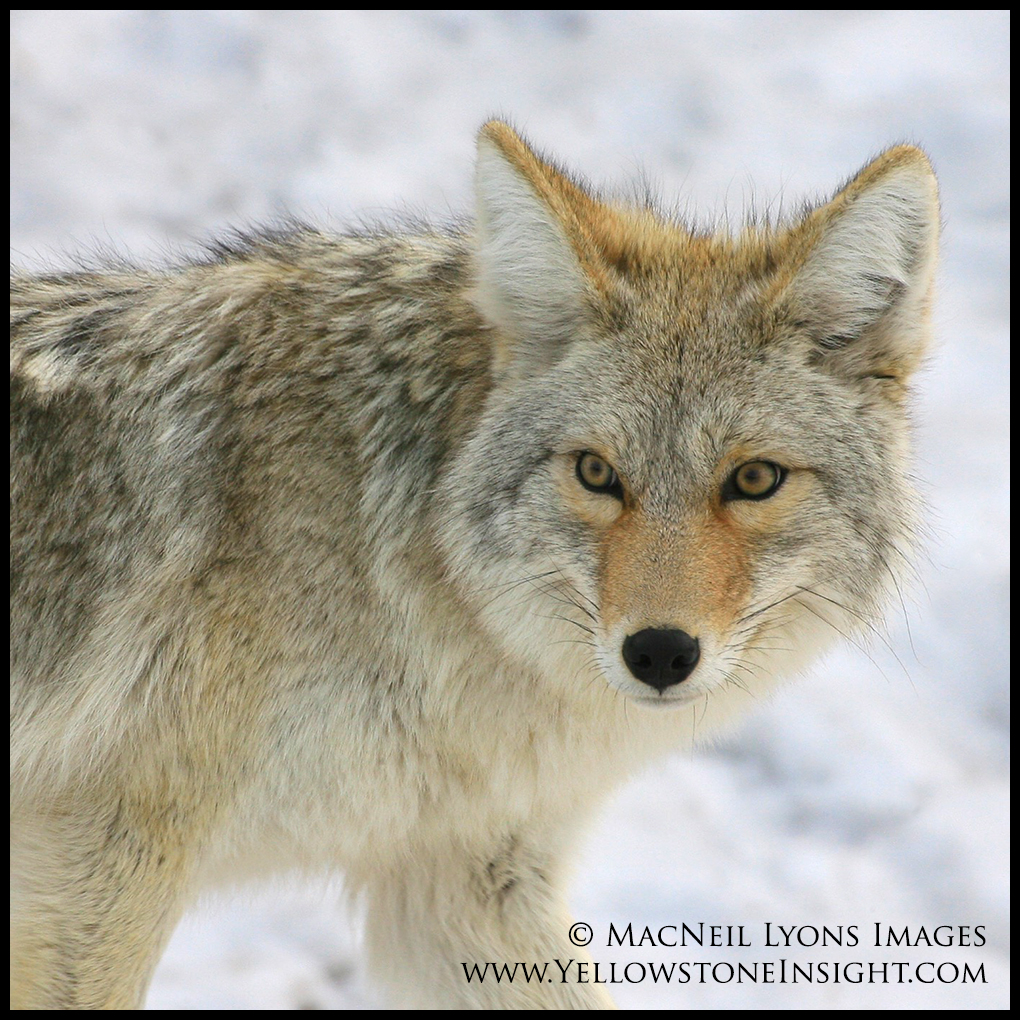 coyote-face_2813