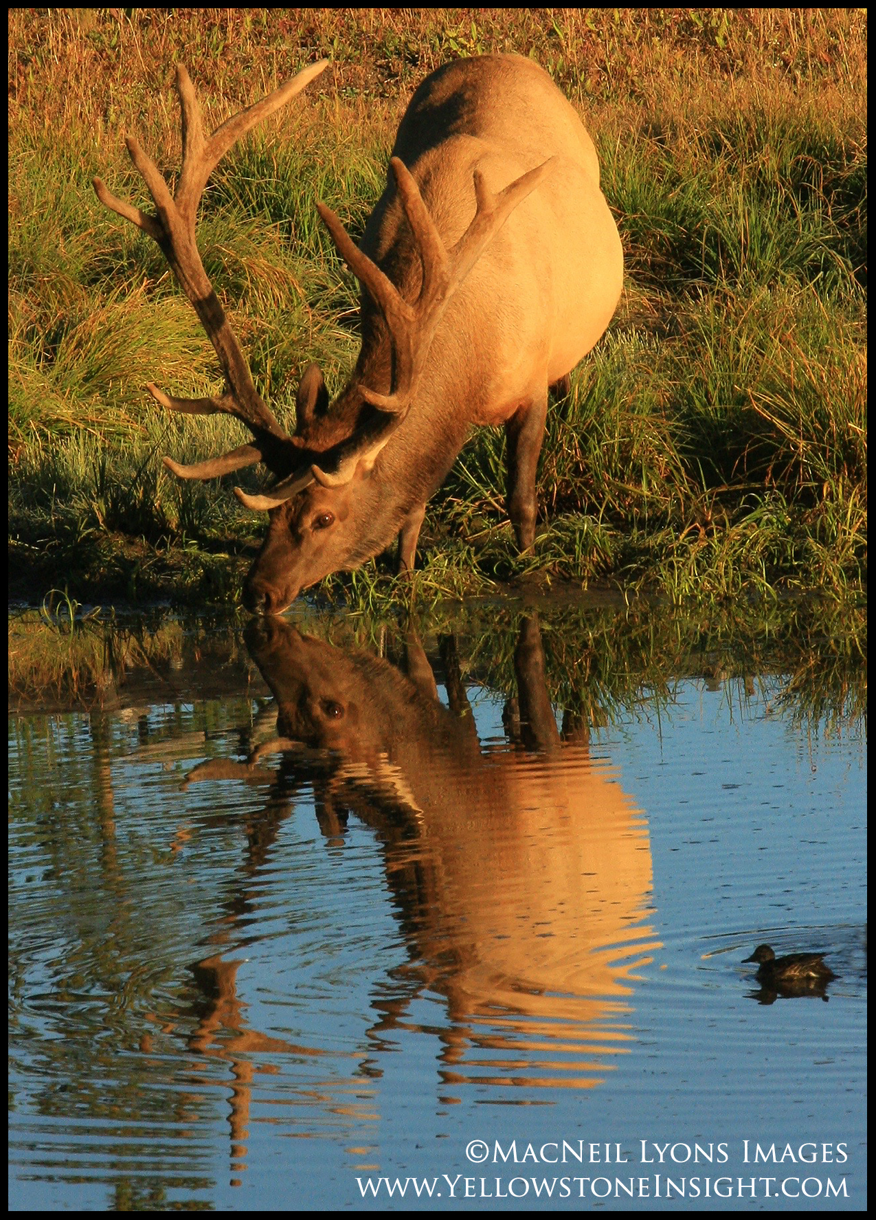 elkbullreflection_3079