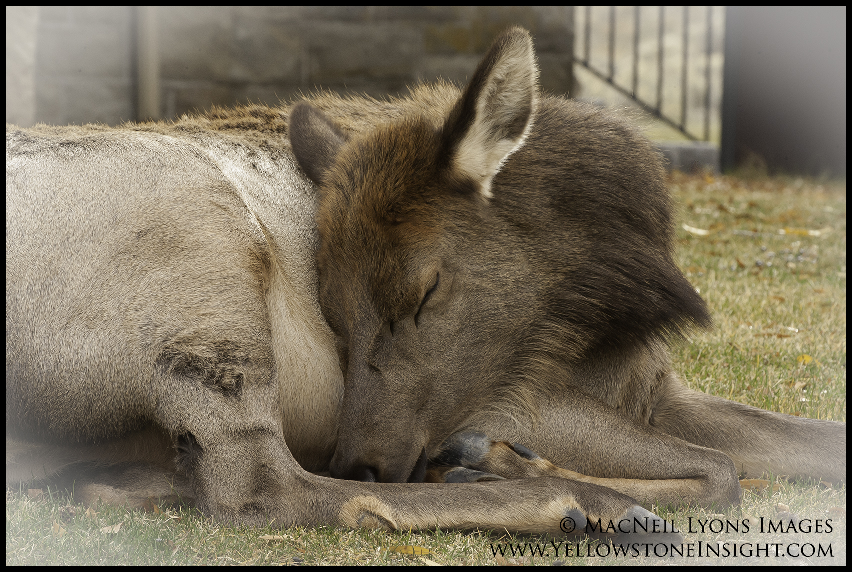 elkcowsleeping_20161030_lyons_10013-copy