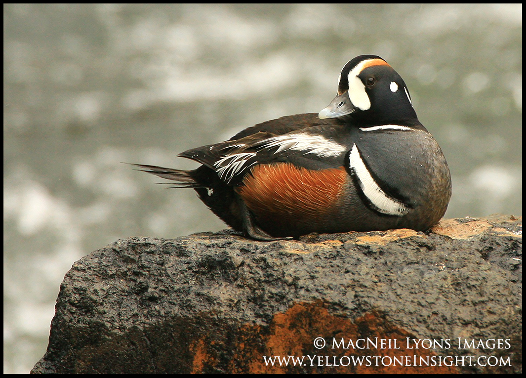 harlequin-duck-1_7345