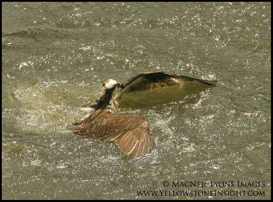 ospreyinriver_9387