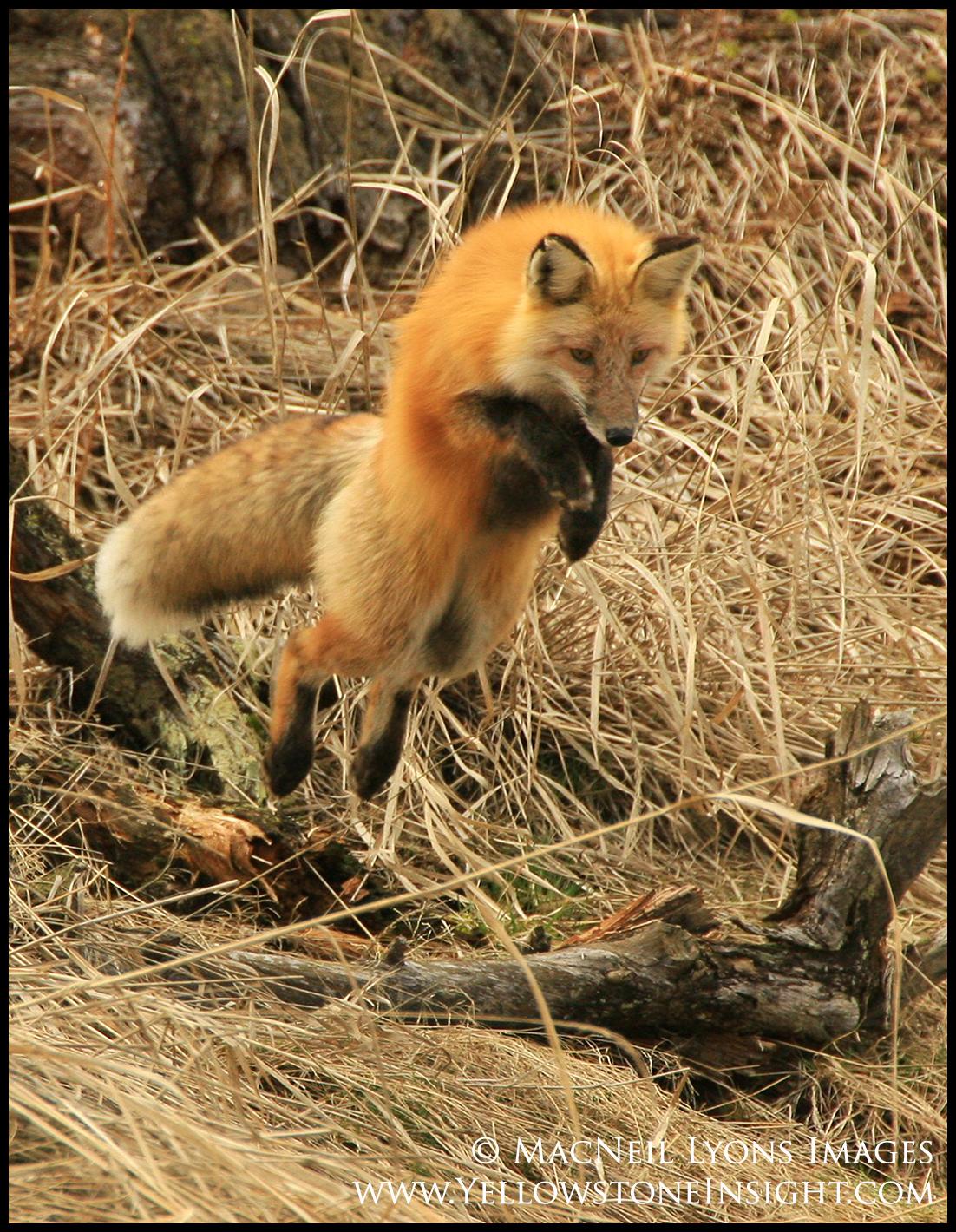 red-fox_5511