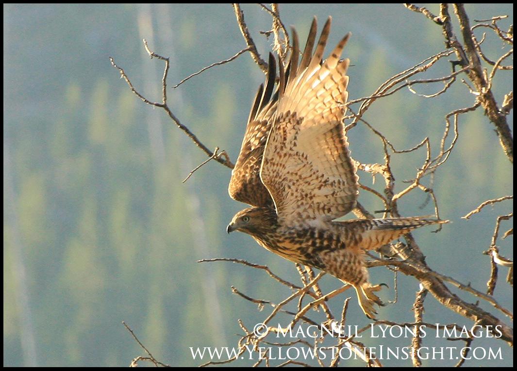 redtail-hawk-1_3727