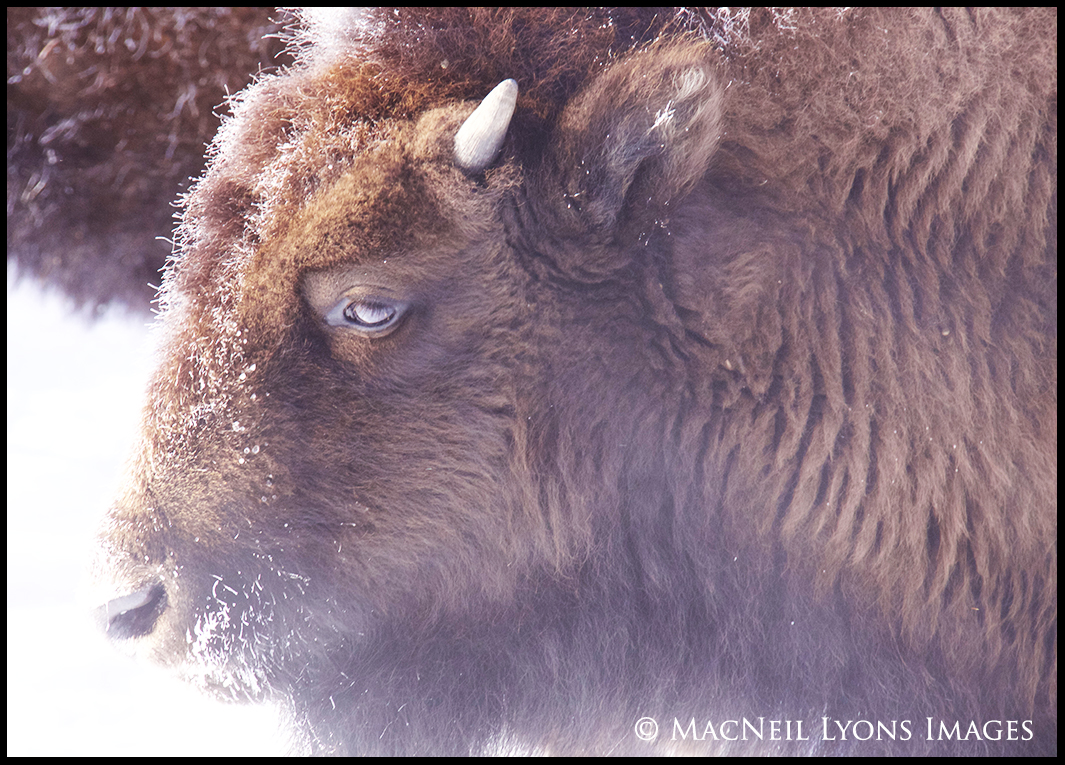 BLog 02.01.16 Bison Calf