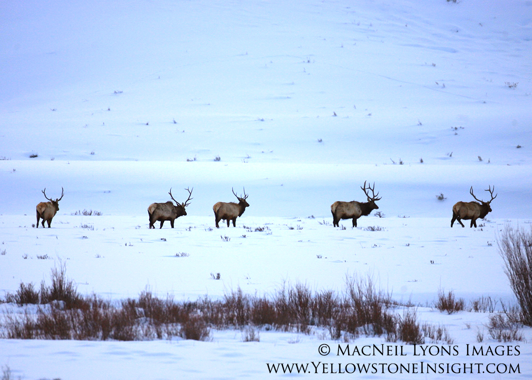 Line of bull elk, Soda Butte Creek Valley, Yellowstone. February 2016.