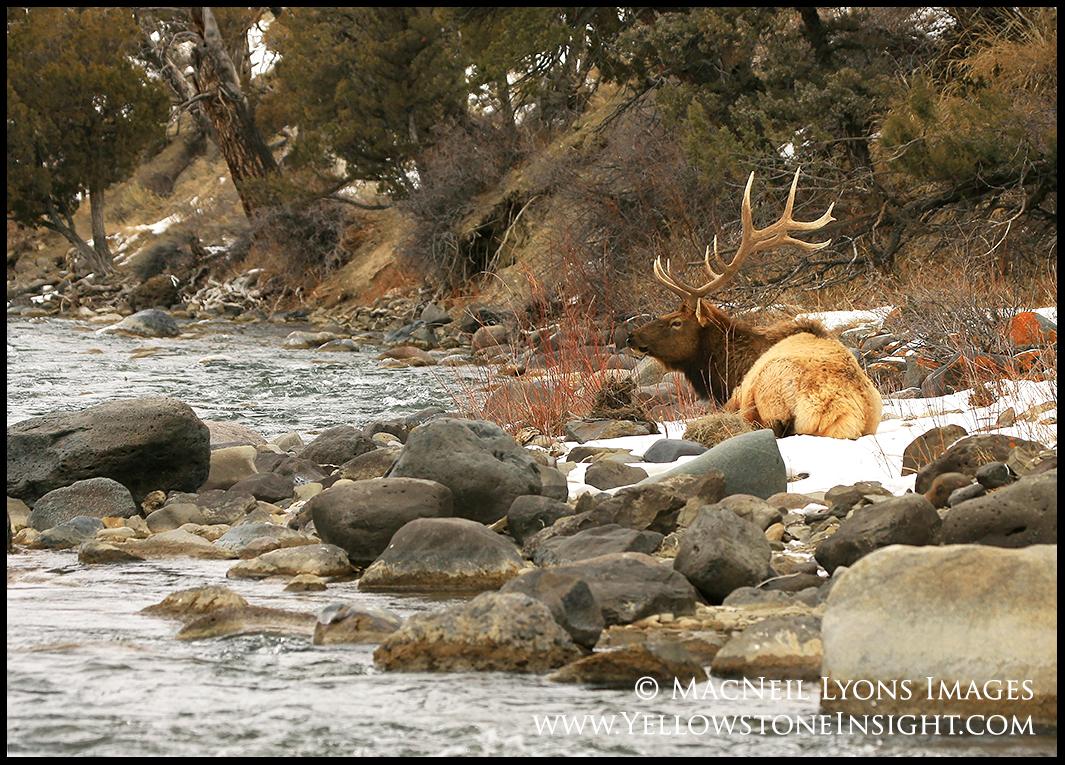 A mature bull elk enjoys time along the Gardner River, Yellowstone. February 2016.