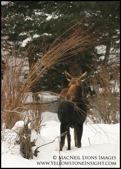 Moose in the willow, Geode Creek, Yellowstone. February 2016.