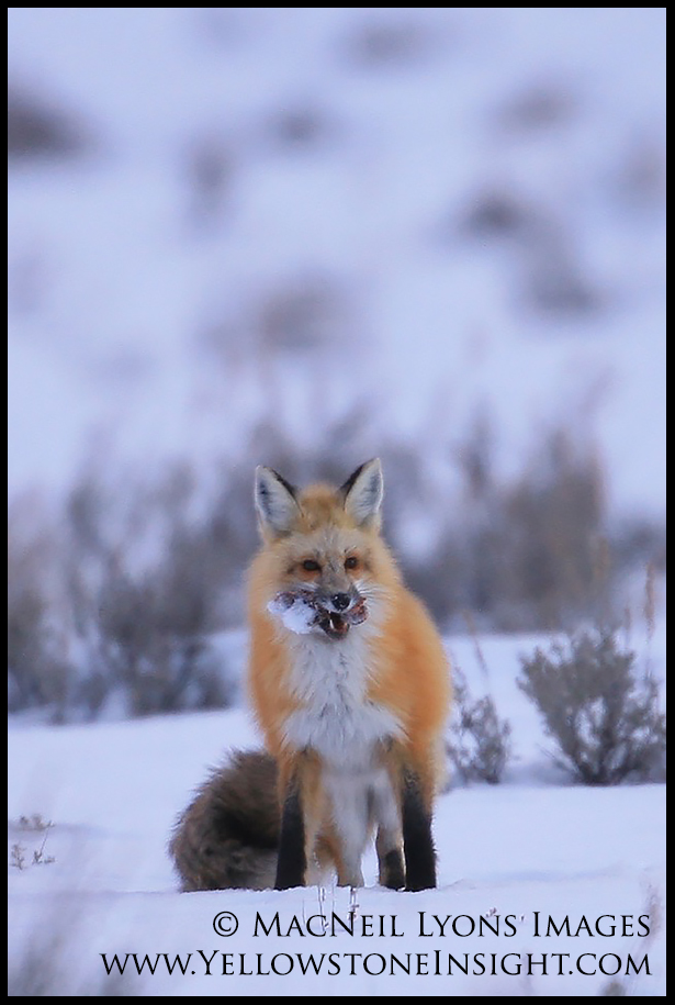 Red Fox Cache 1_2324