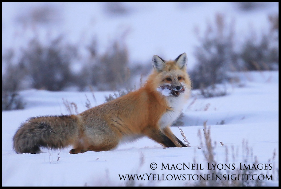 Red Fox Cache 2_2327