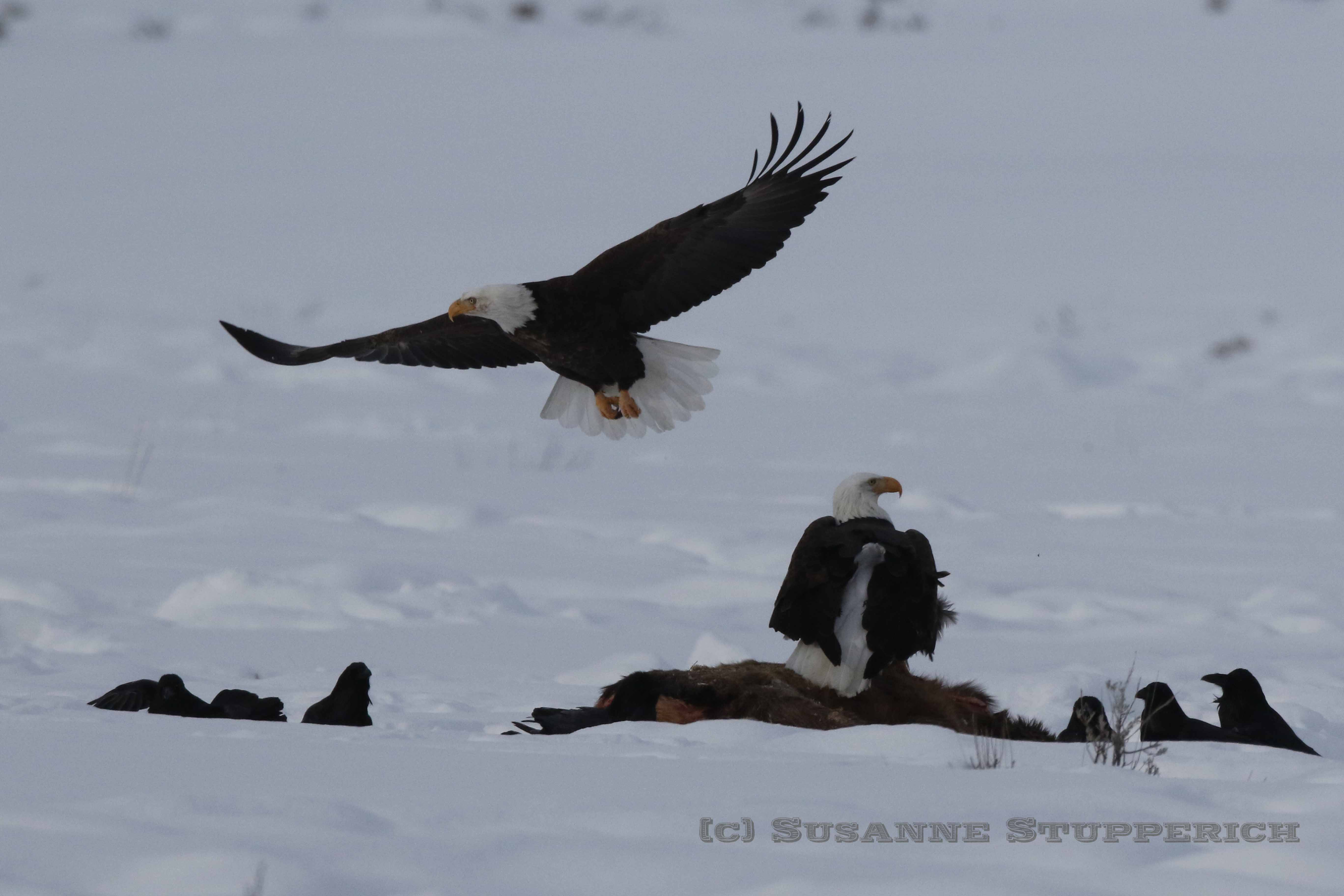 Bald eagles on cow elk carcass, Yellowstone. February 2016.