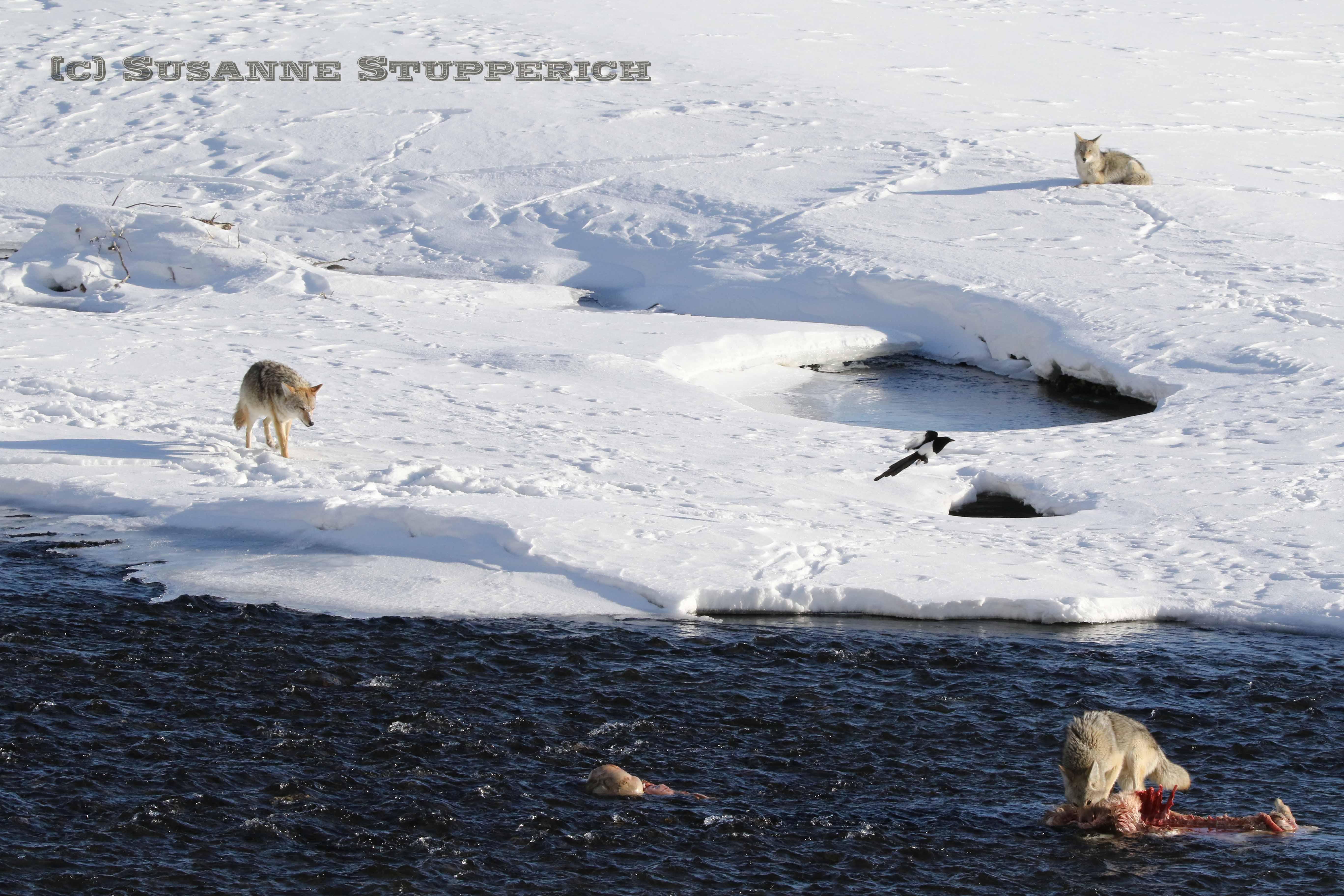 Coyote near Lamar River & Soda Butte Creek Confluence. Yellowstone. February 2016.