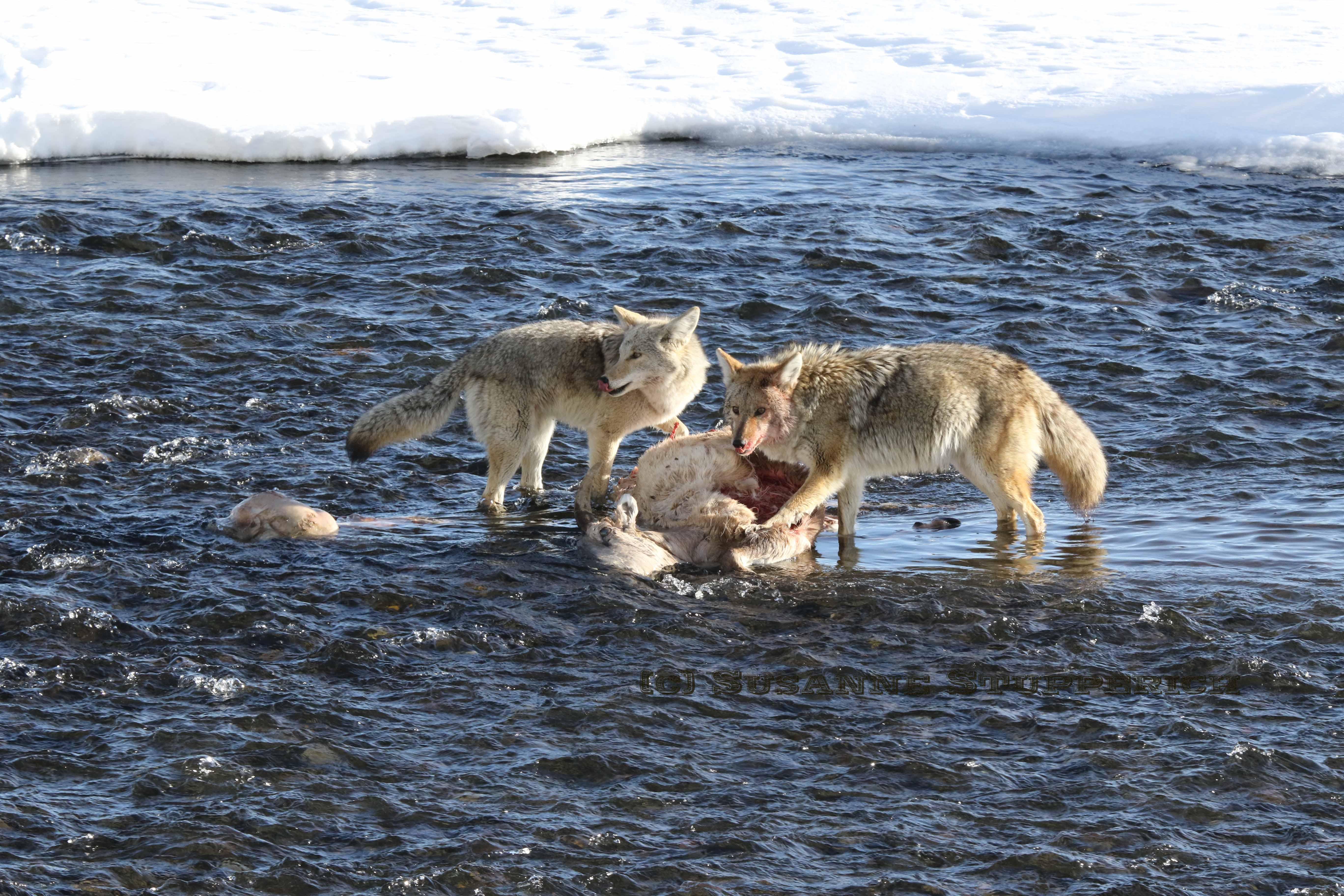 Coyotes feast upon a female bighorn ewe, Lamar Valley. Yellowstone. February 2016.