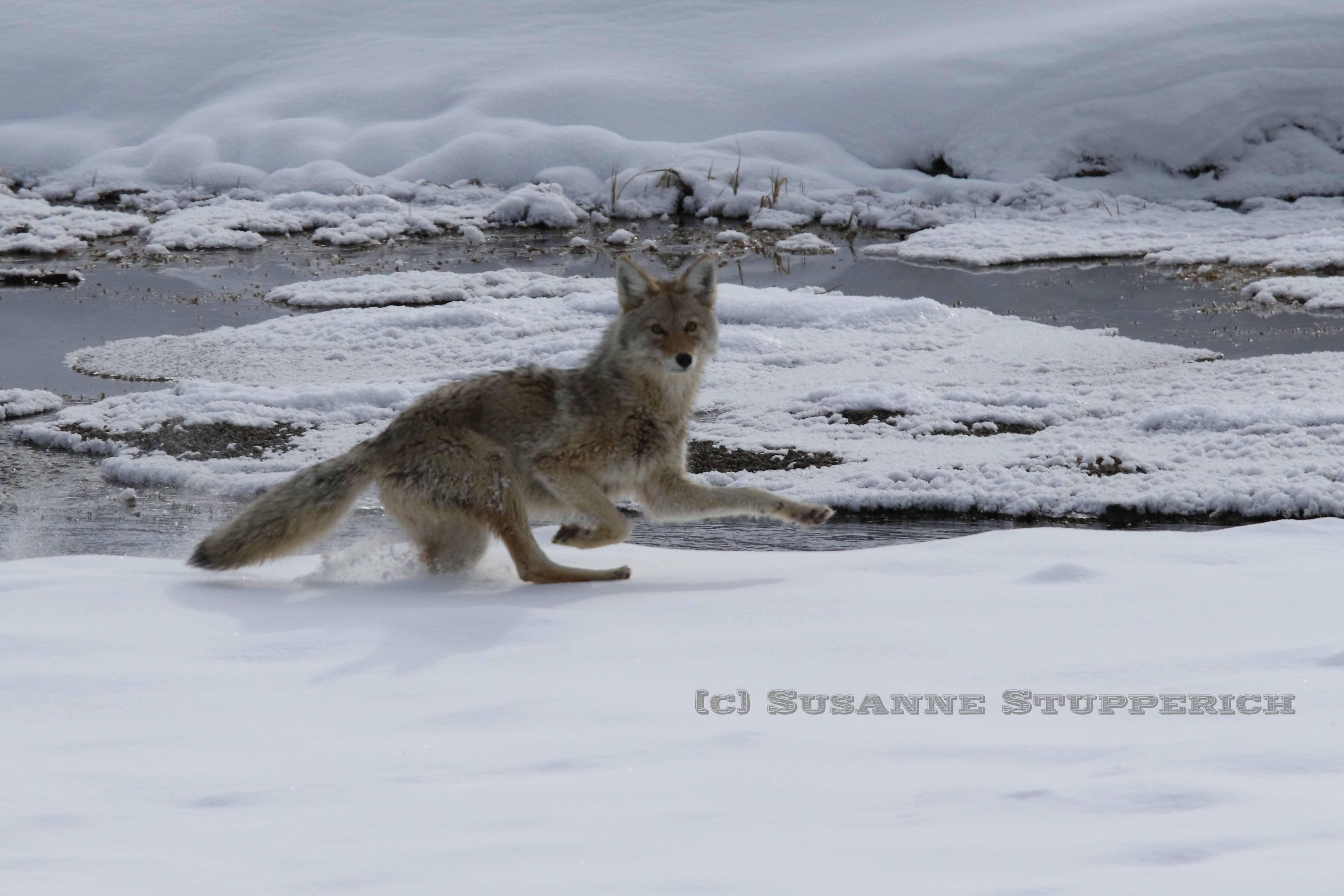 Skittish Coyote. Yellowstone. February 2016.