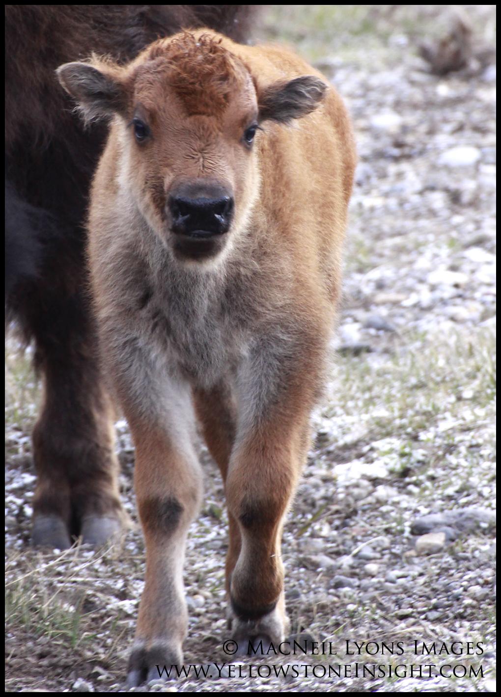 bison-calf_8566