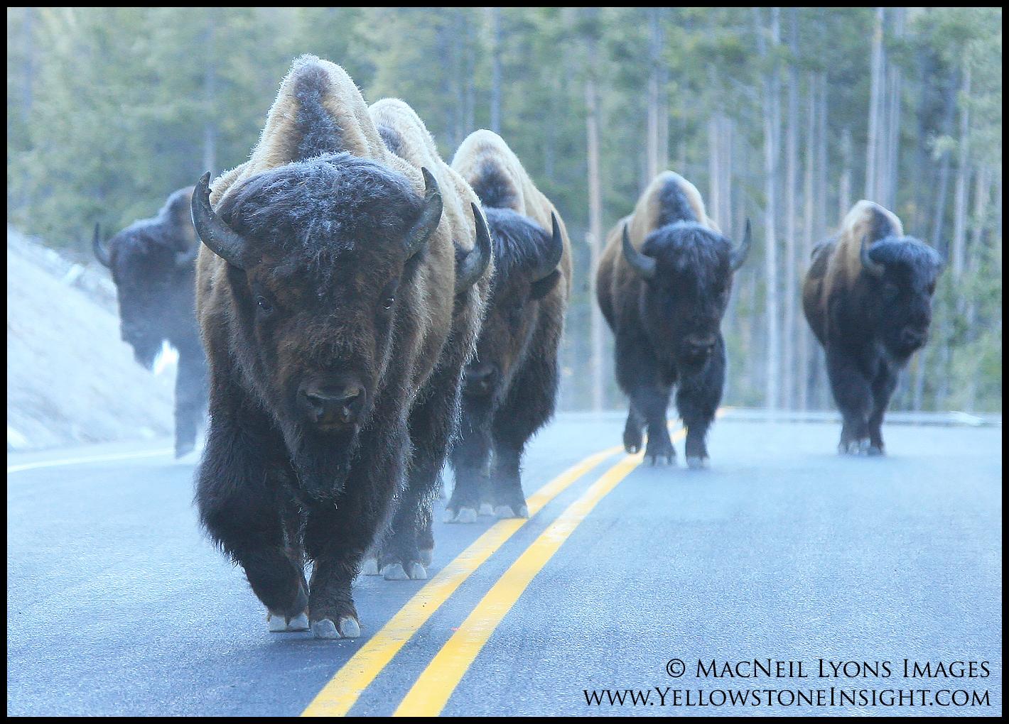 bison-walking-road_5668