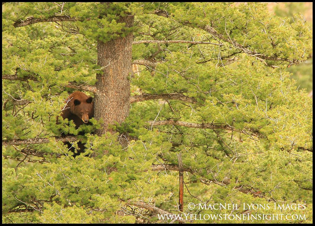 black-bear-backcountry-sow_6090