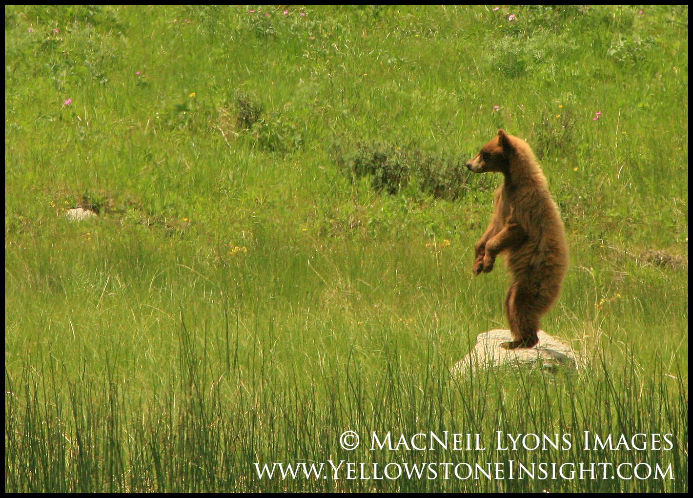 black-bear-standing_0538