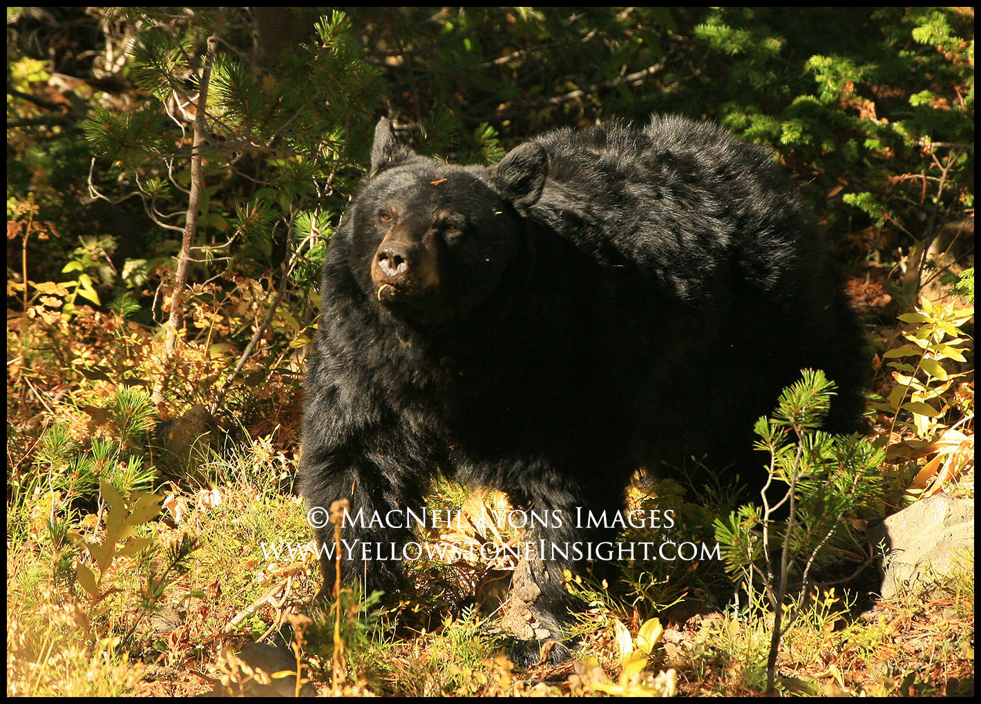blackbearsowwhitebarkcones_4771