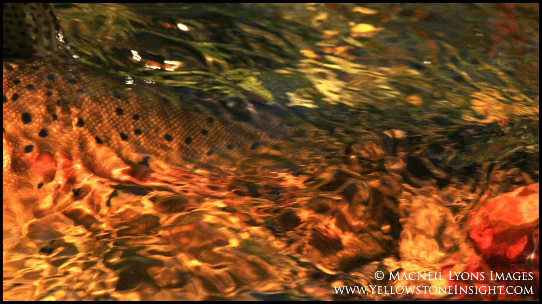 cutthroat-trout_0629