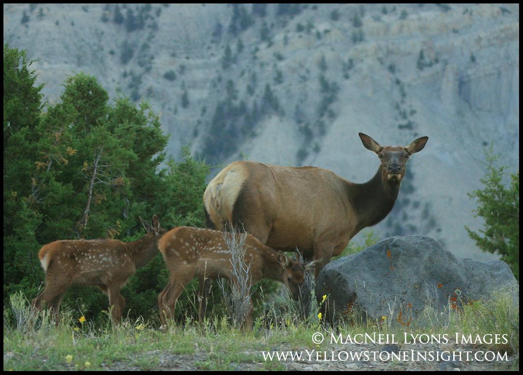 elk-near-mammoth_1358