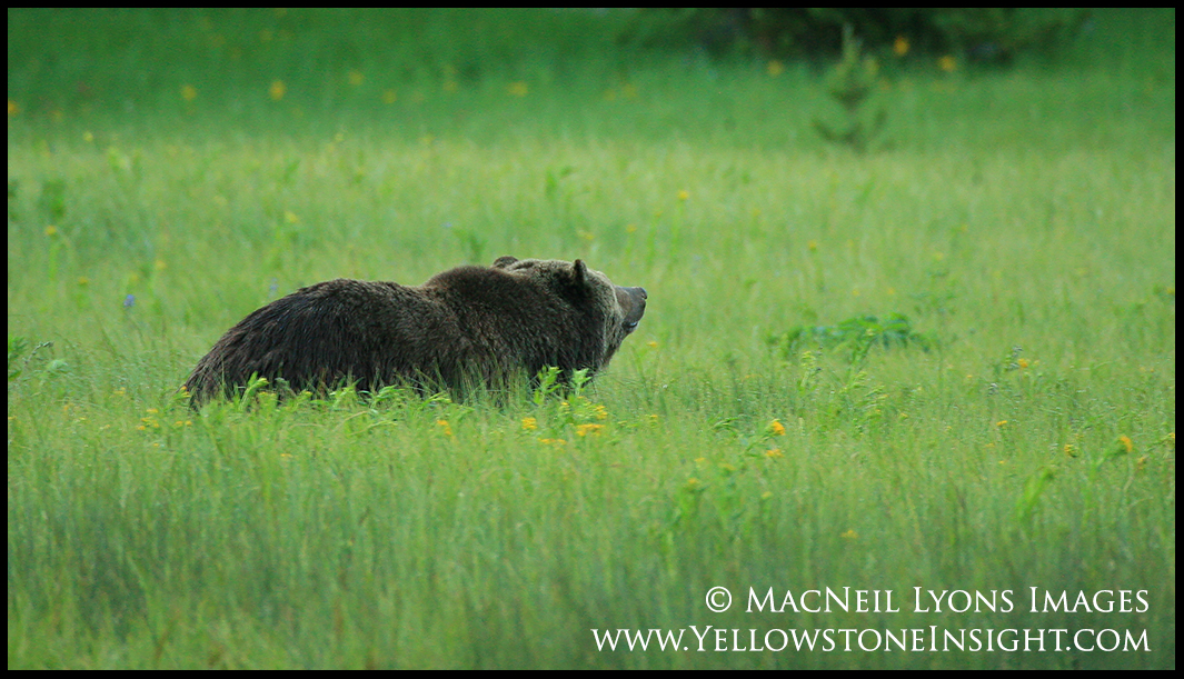 grizzly-bear-green-meadow_0857