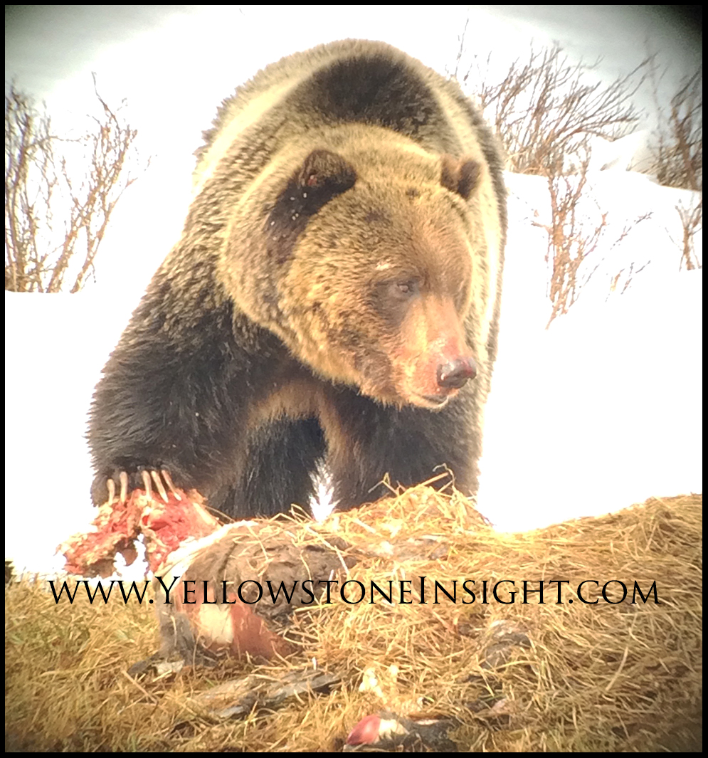 grizzlybearbisoncarcass_6527
