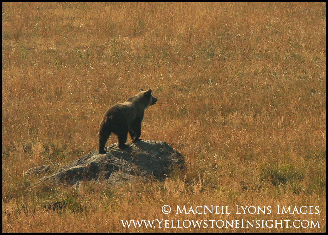 grizzlybearyearling_4019