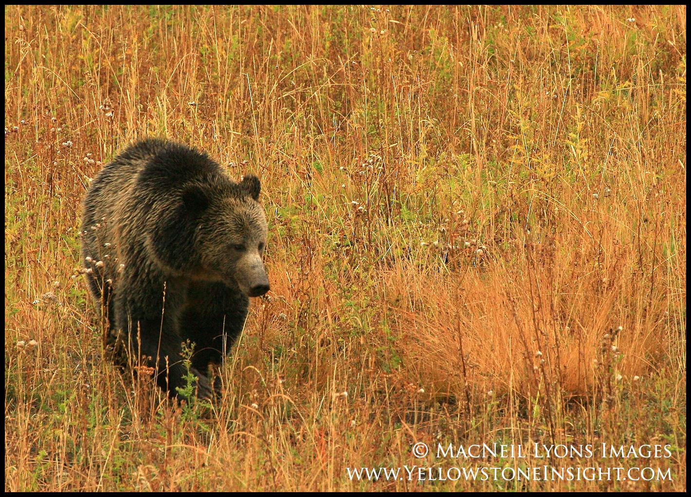 grizzlysow-rasberry_9791