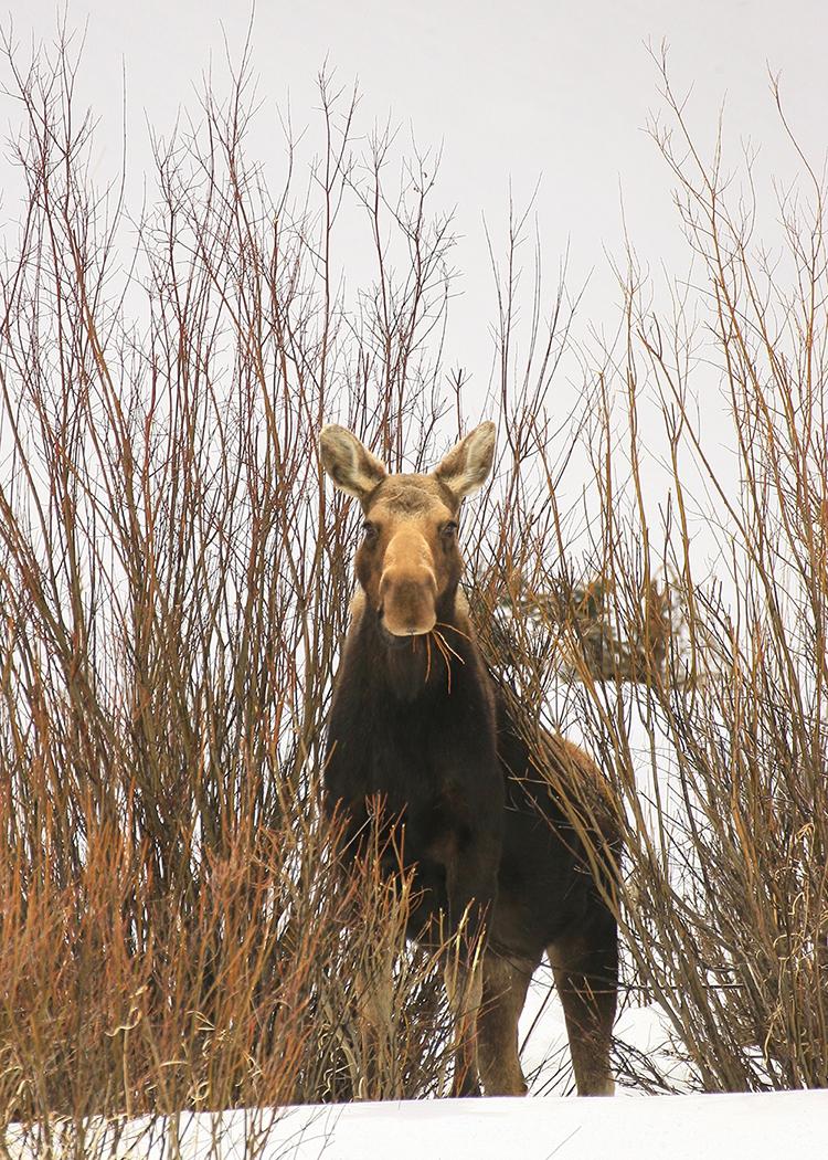 moose-1_4562